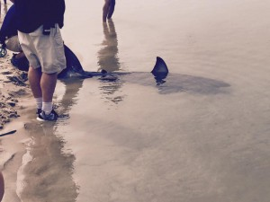 white shark on chatham beach 2